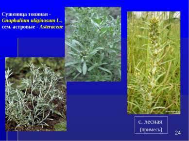 * Сушеница топяная - Gnaphalium uliginosumL., сем. астровые - Asteraceae с. ...