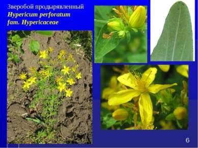 Зверобой продырявленный Hypericum perforatum fam. Hypericaceae *