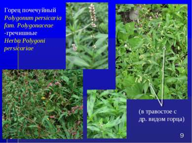 Горец почечуйный Polygonum persicaria fam. Polygonaceae -гречишные Herba Poly...
