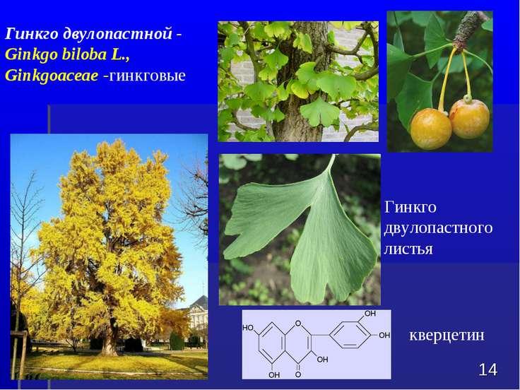 Гинкго двулопастного листья * Гинкго двулопастной - Ginkgo biloba L., Ginkgoa...