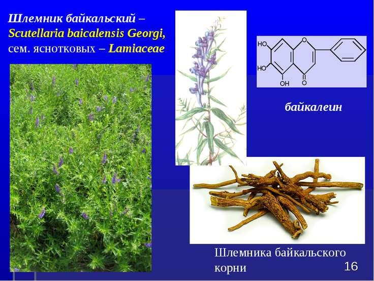 Шлемника байкальского корни * Шлемник байкальский – Scutellaria baicalensis G...