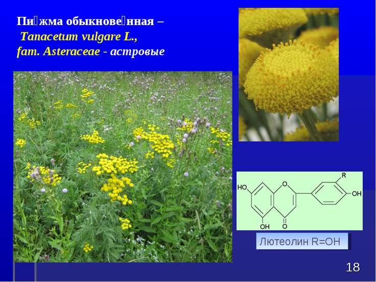 * Пи жма обыкнове нная – Tanacetum vulgareL., fam. Asteraceae - астровые Лю...
