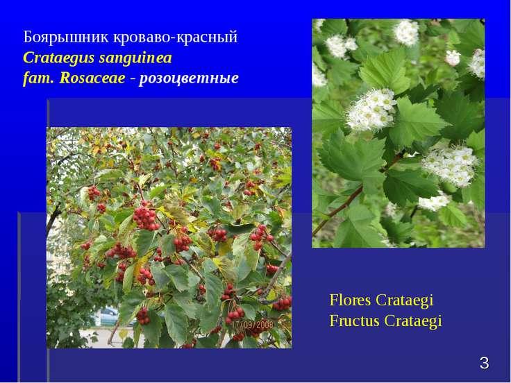 * Боярышник кроваво-красный Crataegus sanguinea fam. Rosaceae - розоцветные F...