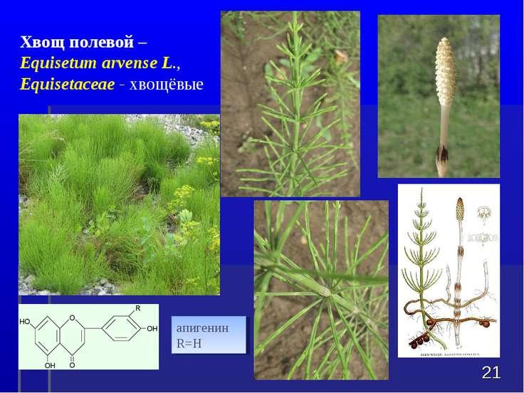 * Хвощ полевой – Equisetum arvenseL., Equisetaceae - хвощёвые апигенин R=H