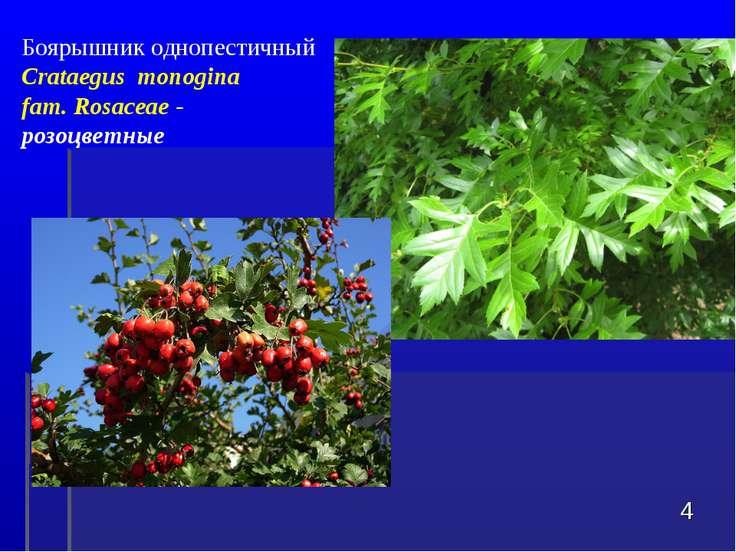 * Боярышник однопестичный Crataegus monogina fam. Rosaceae - розоцветные