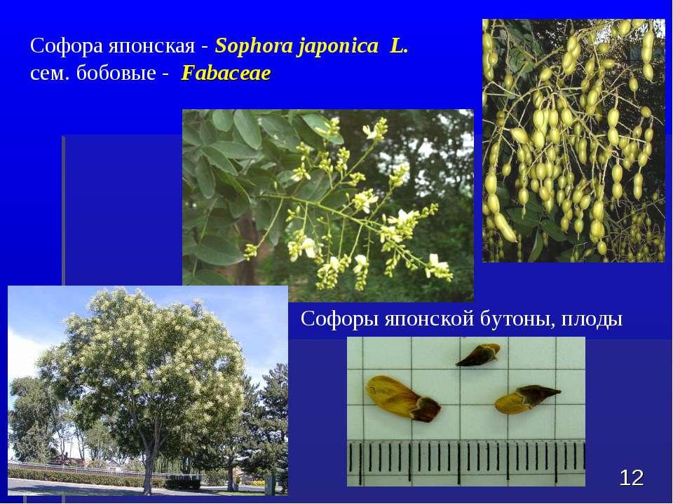 Софора японская - Sophora japonica L. сем. бобовые - Fabaceae * Софоры японск...