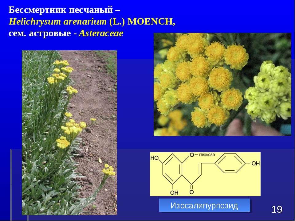 * Бессмертник песчаный – Helichrysum arenarium(L.)MOENCH, сем. астровые - ...