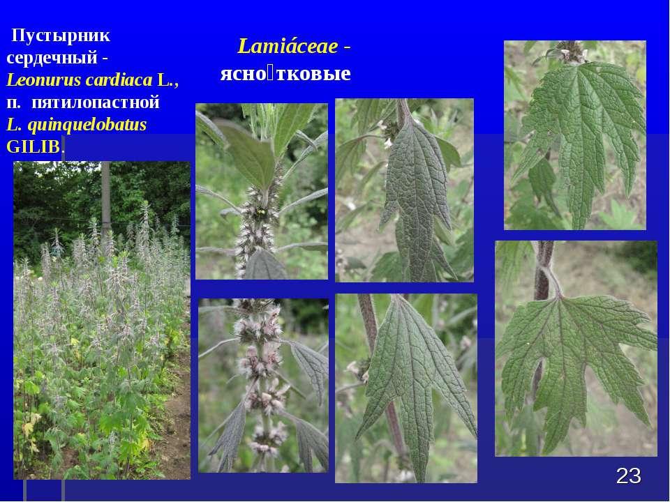 * Пустырник сердечный - Leonurus cardiacaL., п. пятилопастной L. quinquelob...