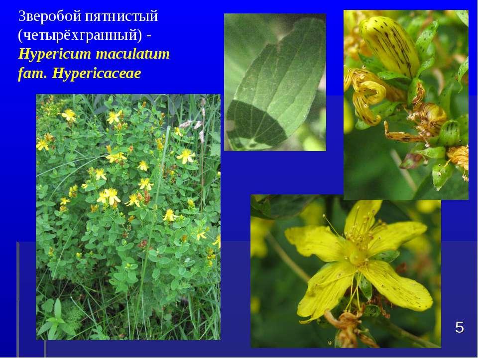 Зверобой пятнистый (четырёхгранный) - Hypericum maculatum fam. Hypericaceae *