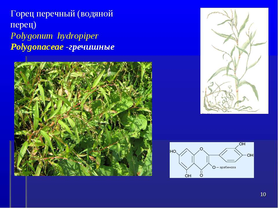 Горец перечный (водяной перец) Polygonum hydropiper Polygonaceae -гречишные *