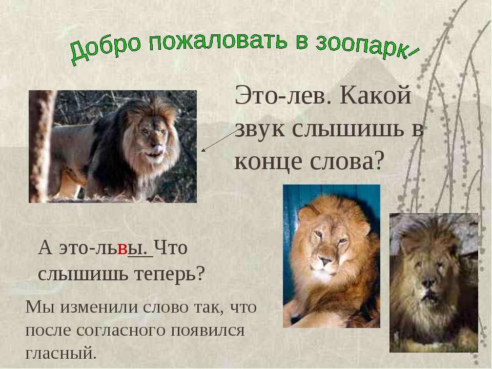 Это-лев. Какой звук слышишь в конце слова? А это-львы. Что слышишь теперь? Мы...
