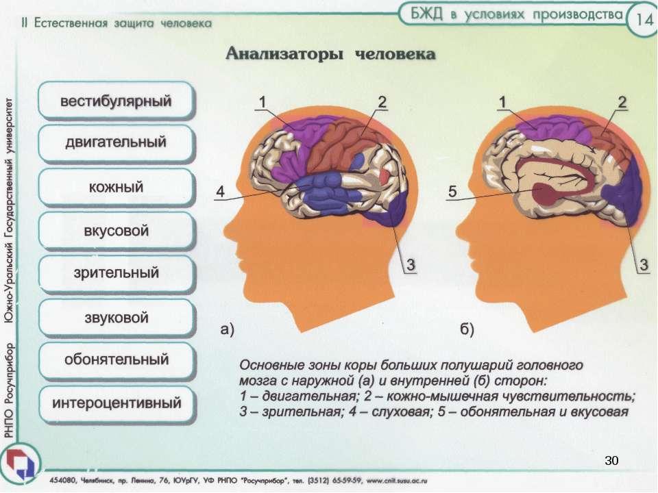 Центральной частью анализаторов являются некоторые зоны в коре головного мозг...