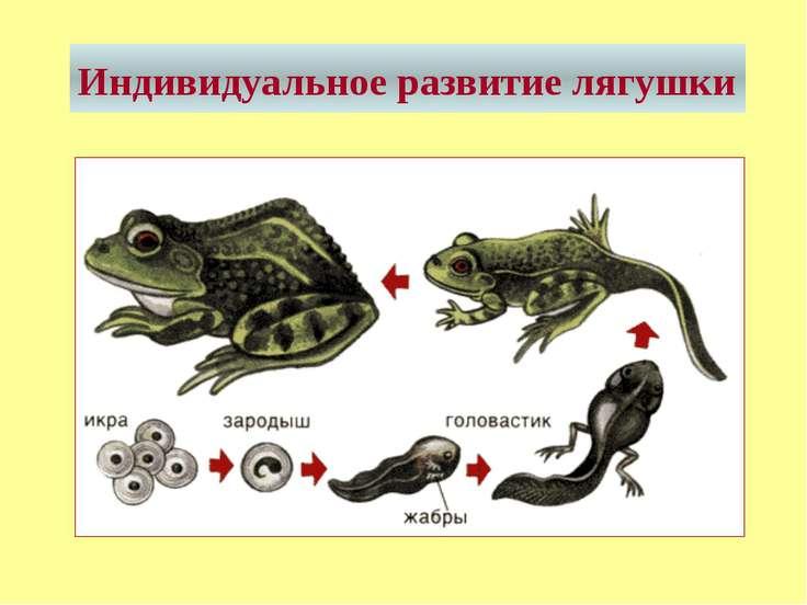Индивидуальное развитие лягушки