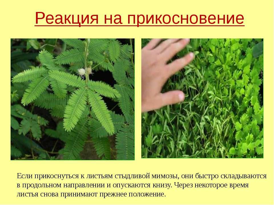 Реакция на прикосновение Если прикоснуться к листьям стыдливой мимозы, они бы...