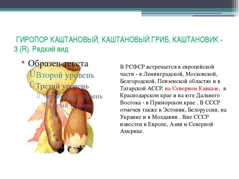 ГИРОПОР КАШТАНОВЫЙ, КАШТАНОВЫЙ ГРИБ, КАШТАНОВИК - 3 (R). Редкий вид В РСФСР в...