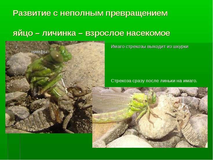 Развитие с неполным превращением яйцо – личинка – взрослое насекомое Имаго ст...