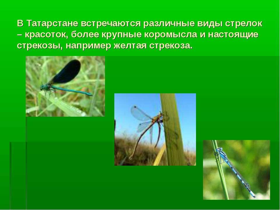 В Татарстане встречаются различные виды стрелок – красоток, более крупные кор...
