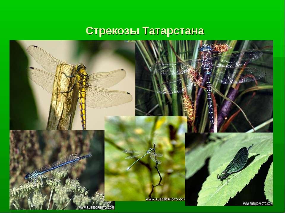 Стрекозы Татарстана