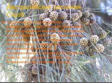 Австралийские растения. Скрэб. Во внутренних пустынных районах распространены...