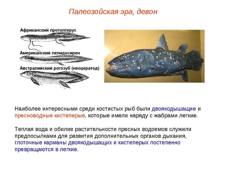 Наиболее интересными среди костистых рыб были двоякодышащие и пресноводные ки...