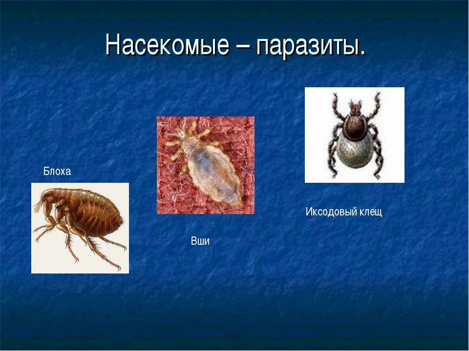 насекомые паразиты человека и животных