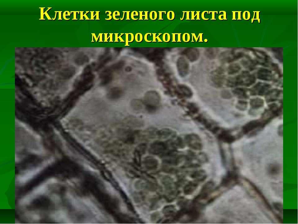 Клетки зеленого листа под микроскопом.
