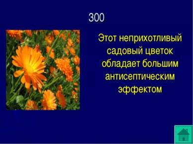 Этот неприхотливый садовый цветок обладает большим антисептическим эффектом 300