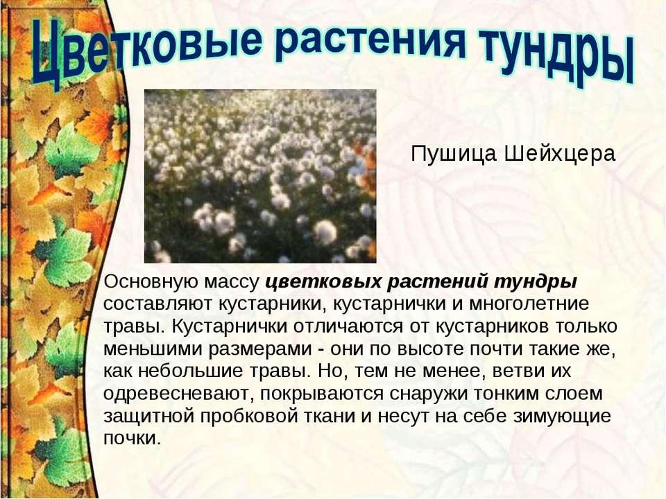 Пушица Шейхцера Основную массу цветковых растений тундры составляют кустарник...