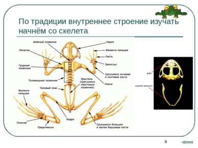 * По традиции внутреннее строение изучать начнём со скелета