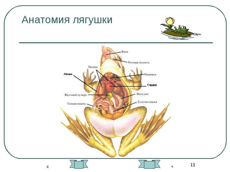* Анатомия лягушки Лёгкие Сердце д н