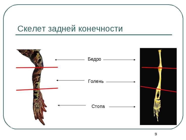 * Скелет задней конечности Бедро Голень Стопа