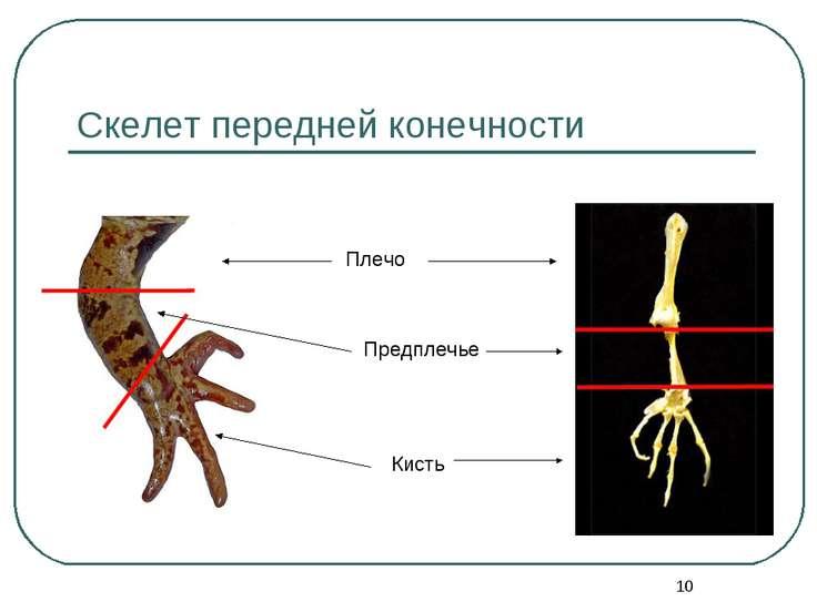 * Скелет передней конечности Плечо Предплечье Кисть