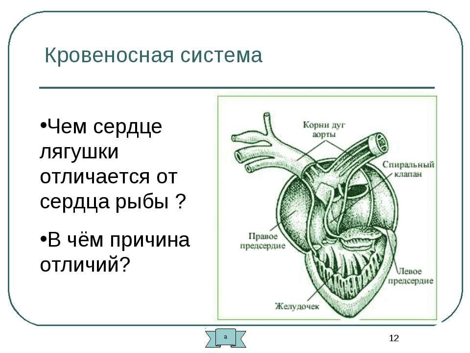 * Кровеносная система Чем сердце лягушки отличается от сердца рыбы ? В чём пр...