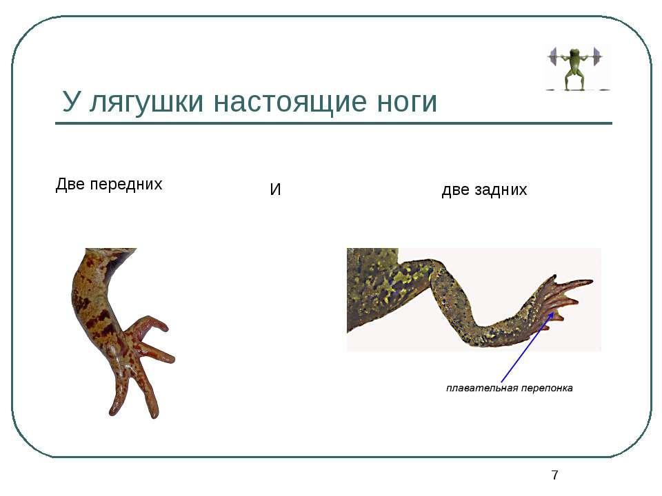 * У лягушки настоящие ноги Две передних И две задних
