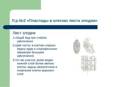 Л.р.№2 «Пластиды в клетках листа элодеи» Лист элодеи 1-общий вид при слабом у...