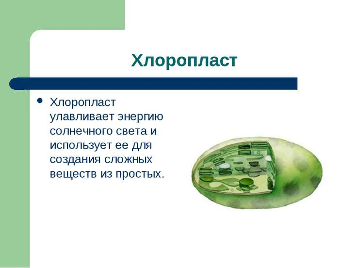Хлоропласт Хлоропласт улавливает энергию солнечного света и использует ее для...