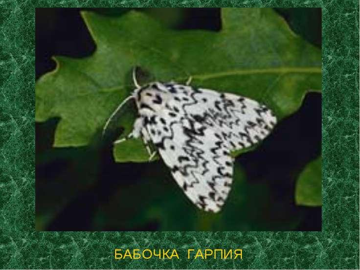 БАБОЧКА ГАРПИЯ