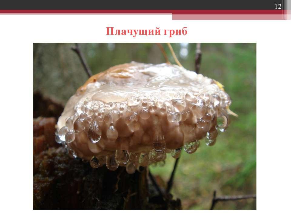 * Плачущий гриб