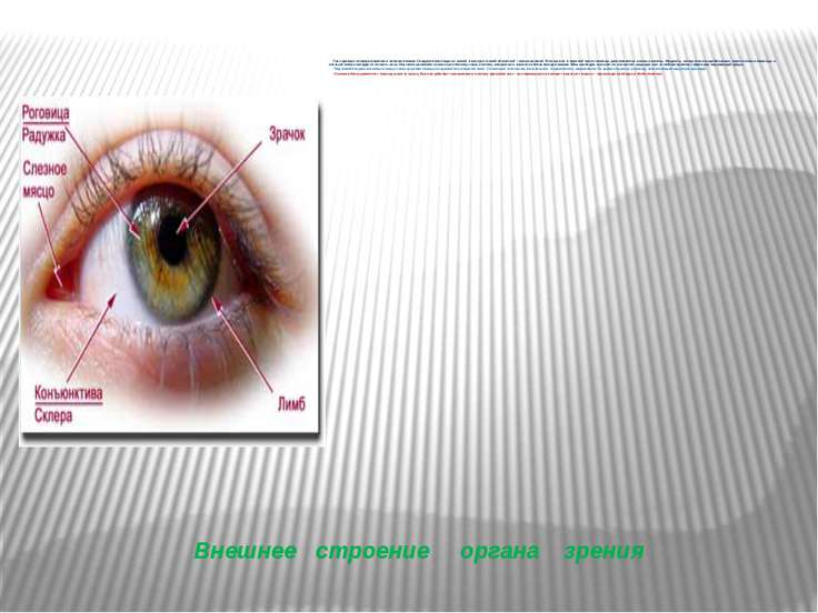 Внешнее строение органа зрения Глаз прикрыт спереди верхним и нижним веками. ...