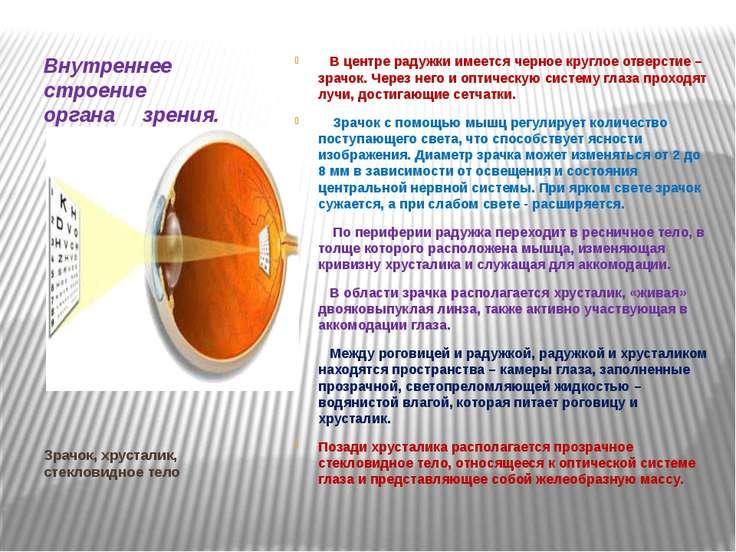 Зрачок, хрусталик, стекловидное тело Внутреннее строение органа зрения. В цен...