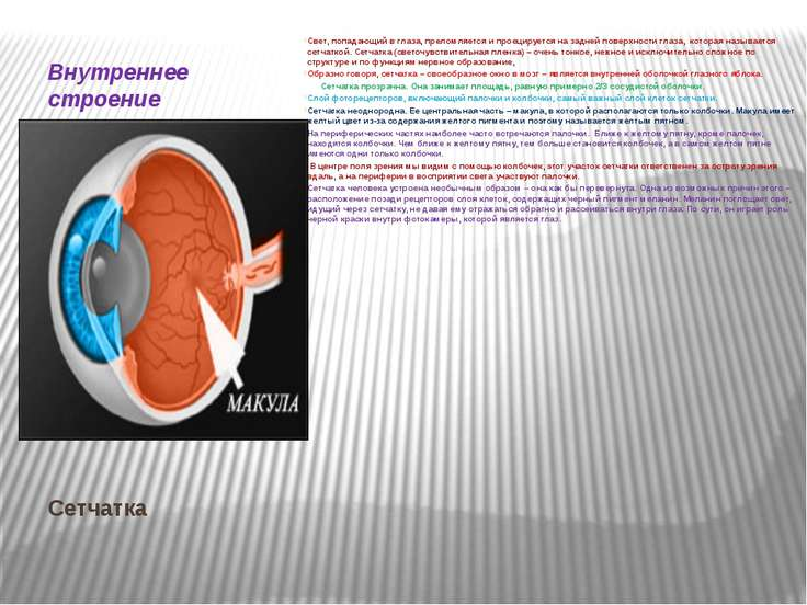 Сетчатка Внутреннее строение органа зрения. Свет, попадающий в глаза, преломл...