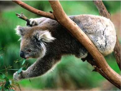 Эндемики Австралии - Коала
