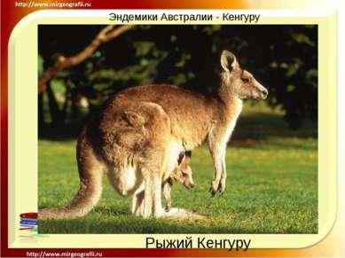 Эндемики Австралии - Кенгуру Рыжий Кенгуру