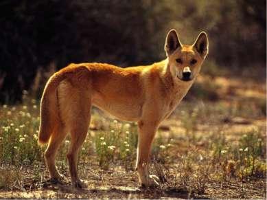 Эндемики Австралии - Динго