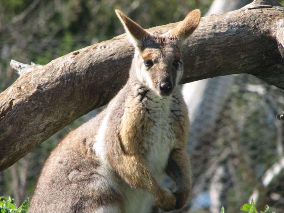 Эндемики Австралии - Кенгуру Кенгуру Валлаби