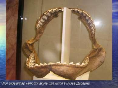 Этот экземпляр челюсти акулы хранится в музее Дарвина.