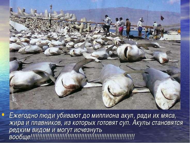 Ежегодно люди убивают до миллиона акул, ради их мяса, жира и плавников, из ко...