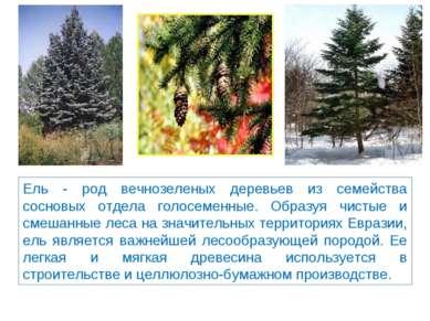 Ель - род вечнозеленых деревьев из семейства сосновых отдела голосеменные. Об...