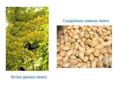 Съедобные семена гинкго Ветви дерева гинкго