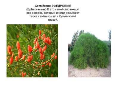 Семейство ЭФЕДРОВЫЕ (Ephedraceae) В это семейство входит род эфедра, который ...